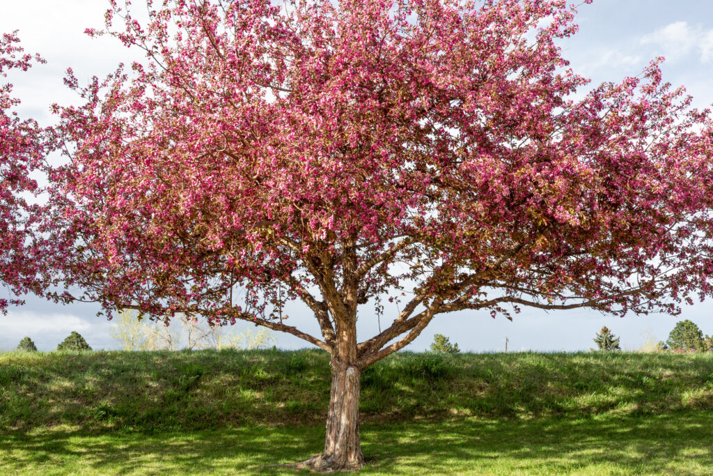 Flowering Crab Tree Amery Wisconsin